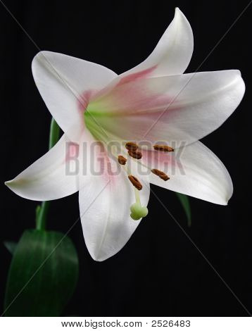 White Easter Lily On Black