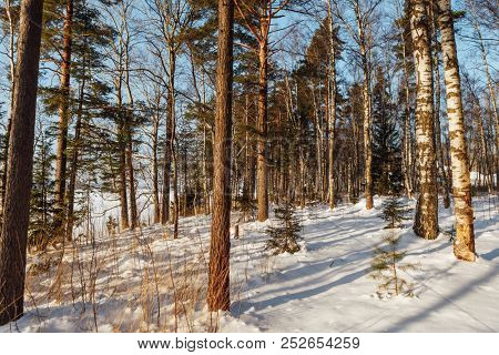 winter forest woodland at sunny day in Finland