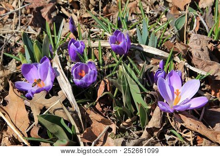 Many Blue Crocuses  On The Flower Bed