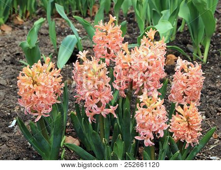 Many Pink  Hyacinths On The Flower Bed