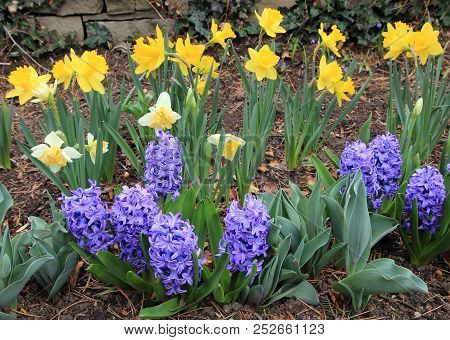 Many Colorful  Hyacinths And Daffodils On The Flower Bed