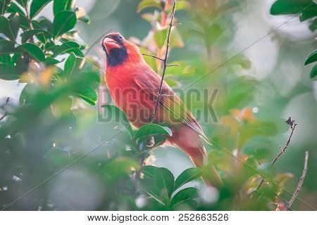 Cardinal Birds Hanging Out On A Tree