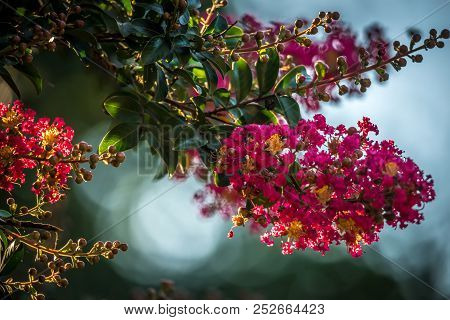 A Lagerstroemia Indica (crape Myrtle, Crepe Myrtle)