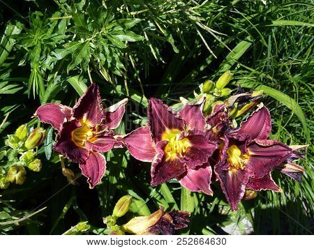 Three Red Lilies On The Flower Bed