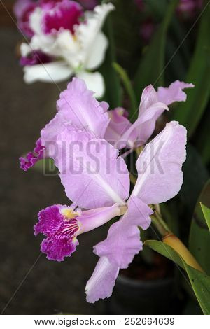Single Pink Orchid On The Dark Background