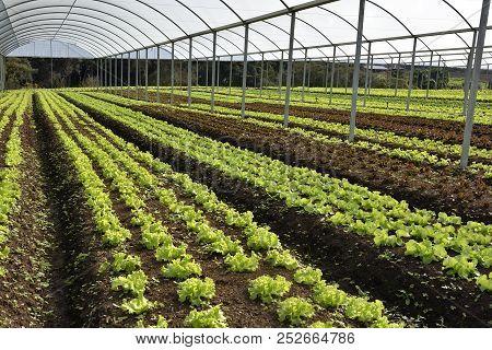 Lettuce Alface Food Horticulture Comida Calories Vegetable