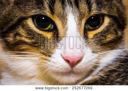 Close Up Cat's Muzzle, Natural Background