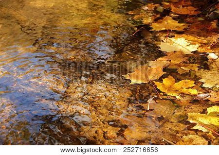 Yellow Autumn Maple Leaves In Clear Water Brook