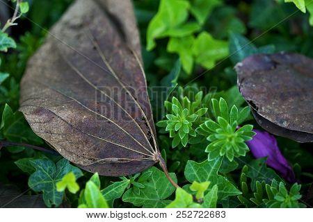 Dried Up Leaf Next To Purple Leaf