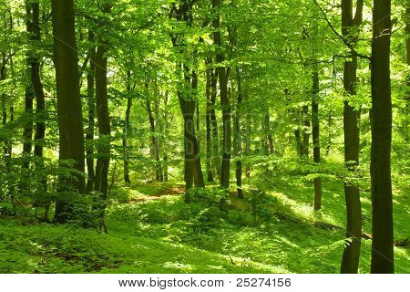 Beech forest