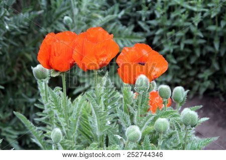 Three Red Poppies On The Flower Bed