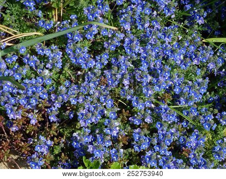 Many Forget-me-not Flowers On The Flower Bed