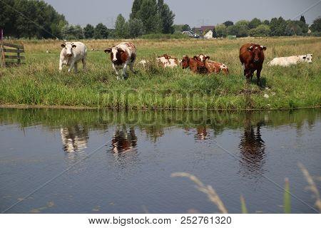 Cows On A Meadow In Park Hitland Reflecting In The Water With Nieuwerkerk Aan Den Ijssel Skyline On
