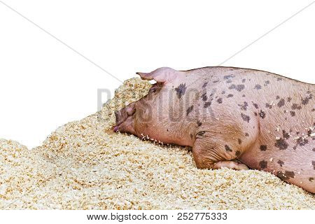 Purebred pig sleeps on sawdust. Sleeping pet pig isolated on white background. Agricultural animal on farm. poster