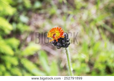 Small Garden Flower Standing Alone In Grass