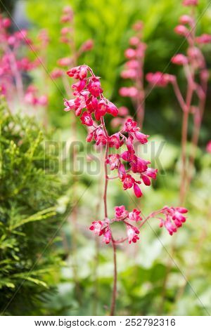 Beautiful Garden Plant With Lots Pink Flowers