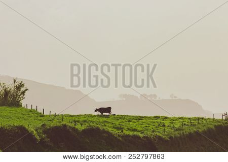 Beautiful Background Of Happy Free Cows In Azores. Cattle Graze All Year Round On Rolling Green Hill