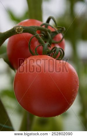 Beautiful Red Ripe Tomatoes Grow In A Greenhouse.
