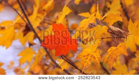 Red Maple Leaf Isolated On Background Of Others Yellow Leaves. Natural Canadian Symbol. Autumn Conce