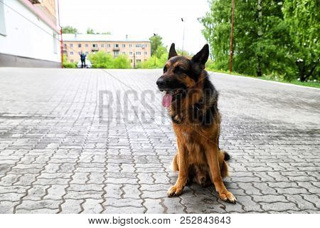 Big Dog German Shepherd On The Sidewalk
