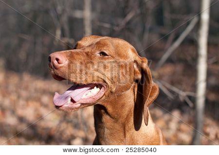 Happy Looking Vizsla Dog In The Woods In Autumn