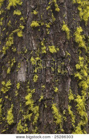 A closeup of tree bark with green moss. poster