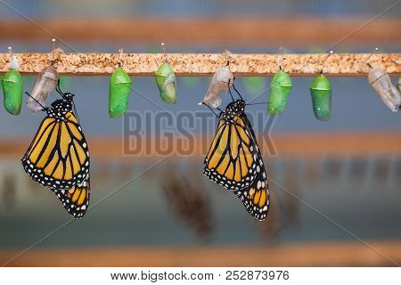 Hanging Butterflies And Cocoons In Butterfly Conservatory. Pupation Of Butterfly.