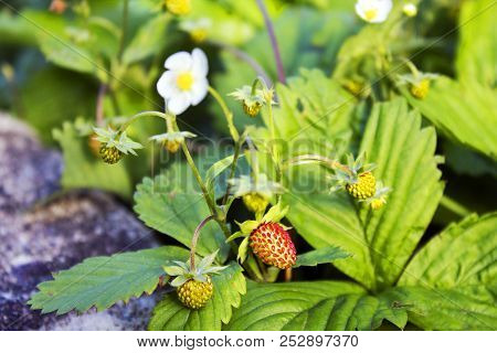 Not Ripe Wild Forest Strawberries And Some Flowers On Strawberry Plant