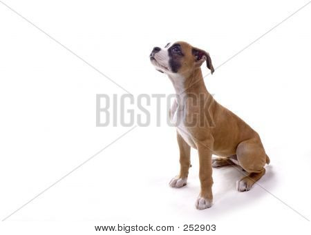 Boxer Pup Waiting For Treat