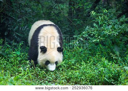 One Adult Giant Panda Walking In The Forest In China , Asia