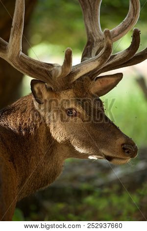 August Portrait Of A Red Deer Stag With Antlers In Their Velvet State