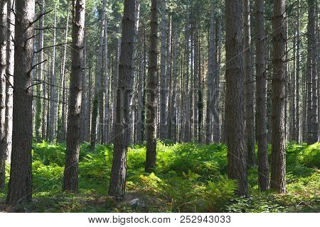 Pine Forest Conifer Background Composition With Green Fern Leafs