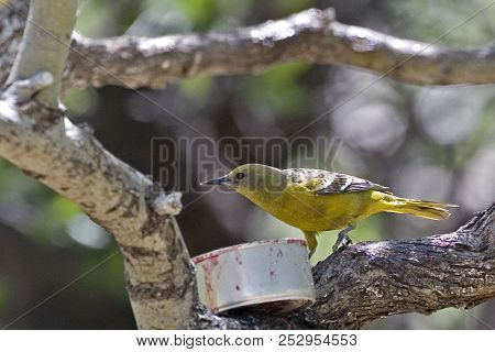 A Female Hooded Oriole, Icterus Cucullatus, Eating Grape Jelly