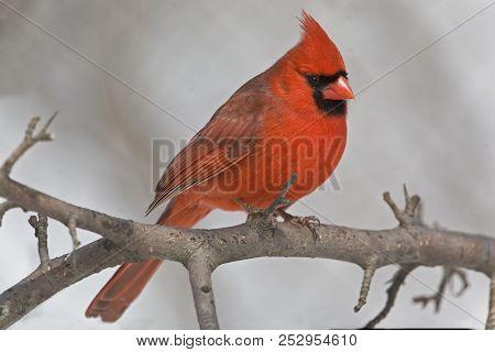 A Male Northern Cardinal, Cardinalis Cardinalis, Resting In Tree