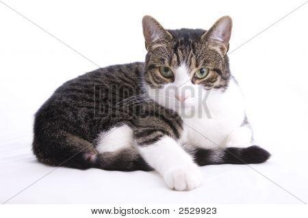 Angry Housecat