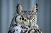 Great Horned Owl (Bubo virginianus), also known as the tiger owl is a large owl native to the Americas. poster