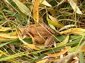 brown frog sitting on the grass poster