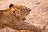 Baby lion yawning and stretching his legs poster