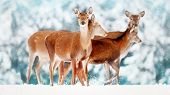 A group of beautiful female deer in the background of a snowy white forest. Noble deer (Cervus elaphus).  Artistic Christmas winter image. Snowing. Selective focus. poster