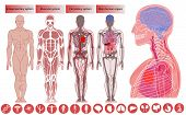 Human body anatomy, Medical Education. Nervous and skeletal systems anatomy and physiology flat educative infographics vector illustration. Human body anatomy, flat style poster