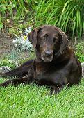 A chocolate Labrador Retriever relaxes in the grass. poster