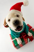 Merry Christmas - portrait of cute  labrador puppy with Christmas gift poster