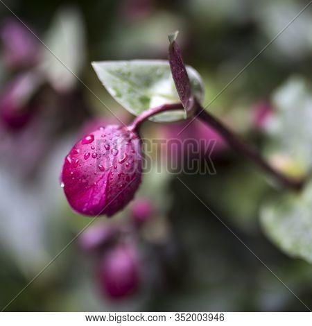 Stinking Hellebore (helleborus Foetidus)