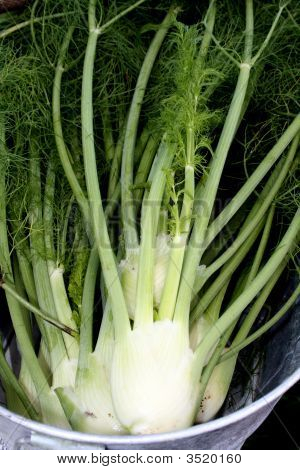 Fennel - Anise
