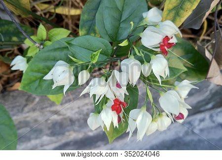 Beautiful Clerodendrum Thomsoniae, Bleeding Glory Bower, Glory Bower, Bagflower Or Bleeding Heart Fl