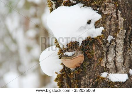 Chaga Mushroom Growing On A Tree Powdered With Snow. Rough Wood Texture Against The Backdrop Of A Bl