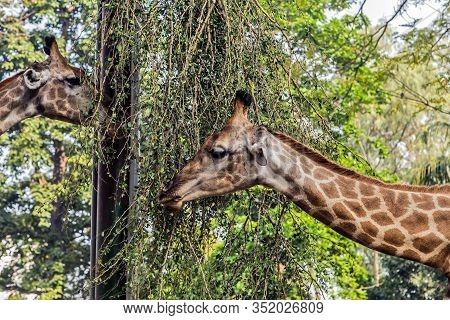 Giraffe Safari (giraffa Camelopardalis) Is An African Even-toed Ungulate Mammal Wildlife