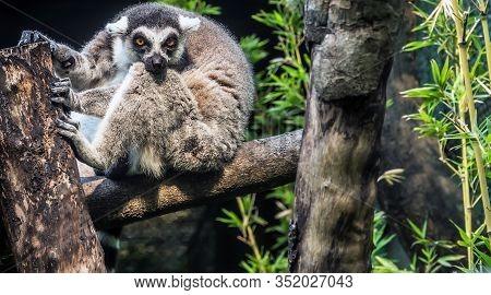 Ring-tailed Lemur Lemuroidea Monkey Sitting On The Tree, Sri Lanka