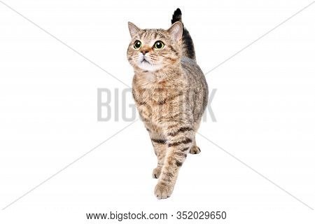 Beautiful Curious Cat Scottish Straight Standing Isolated On A White Background