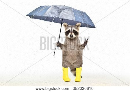 Funny Raccoon In Rubber Boots Standing Under An Umbrella In The Rain Isolated On White Background